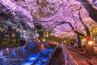 ライトアップの桜音無親水公園 - 風景写真家 鐘ヶ江道彦のフォトブログ