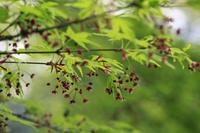 今日の新宿御苑イロハモミジ - みるはな写真くらぶ