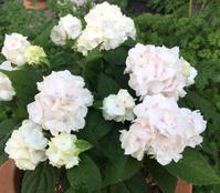 うるまというお名前のヤマアジサイ -  お花とハーブのアトリエ muguette