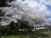 大島桜満開!4/12 - つくしんぼ日記 ~徒然編~