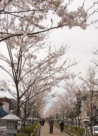 鶴岡八幡宮の桜 - ソナチネアルバム