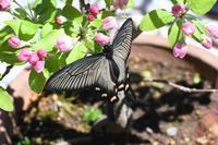 ジャコウアゲハ♀の放蝶 - 見沼の私記3