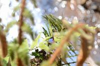 成虫越冬するムラサキシジミ。 - 堺のチョウ