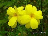 モクセイ科のウンナンオウバイとライラックの開花です。 - デジカメ散歩悠々