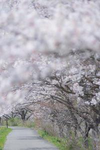 雪*SAKURA - 気ままにお散歩