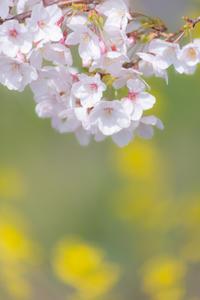 SAKURAと菜の花 - 気ままにお散歩