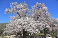 神代植物公園の桜 - Granpa ToshiのEOS的写真生活