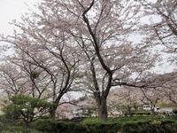 【まだ見ごろの鎌倉霊園の桜】 - お散歩アルバム・・秋の涼風
