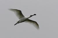 石垣島5ヘラサギ・・・飛翔/下がり続ける日本の立ち位置 - 赤いガーベラつれづれの記