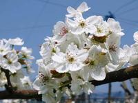 熊本梨岩永農園咲き誇る梨の花とミツバチによる交配(受粉)2019 - FLCパートナーズストア