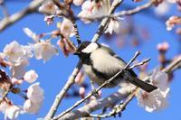 桜にシジュウカラ♪ - happy-cafe*vol.2