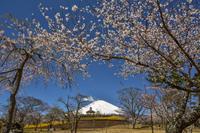 公園で見つけた桜 - 風とこだま