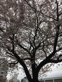 千本今出川 北側 満開 - 京都西陣 小さな暮らし