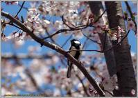 桜シジュウカラ - 野鳥の素顔 <野鳥と日々の出来事>