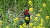 キジと菜の花 - Life with Birds 3
