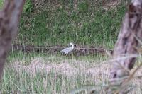 ■蛙を呑んだアオサギ19.4.12 - 舞岡公園の自然2
