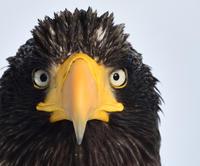 大鷲の肖像 - 自然写真家 佐藤 圭のBLOG/北海道道北の自然と留萌の夕陽