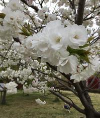 綾瀬川左岸広場で花見 - 優しい風のなかで