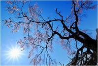 老桜 - HIGEMASA's Moody Photo