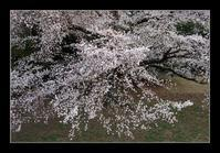 古墳の桜2 - Desire