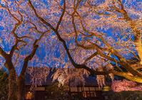 秩父宮記念公園 夜桜ライトアップアップ2019 - エーデルワイスPhoto