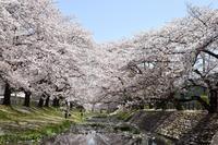 桜に降る雪 - ヒグラシの日記  (あぁ、しあわせな日々)
