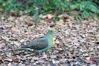 初めての奄美大島遠征(その5)・・・ - 一期一会の野鳥たち
