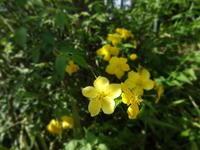 山吹 - だんご虫の花
