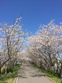 桜ワンコ散歩:手賀沼 - (鳥撮)ハタ坊:PENTAX k-3、k-5で撮った写真を載せていきますので、ヨロシクですm(_ _)m