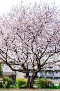 桜 2019年-3 - TW Photoblog