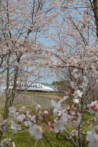 桜の森① - 新幹線の写真