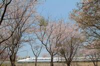 桜の森② - 新幹線の写真