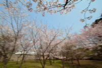 桜の森③ - 新幹線の写真