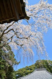 寺の桜(二)報本寺 - 123!
