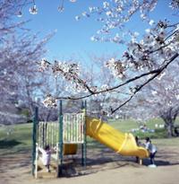 公園の桜 - またいつか旅に出る