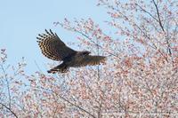 クマタカ桜バック - 気ままに野鳥観察