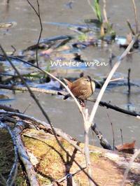 春の野鳥winter wren, ウッドダック他 - NYからこんにちは