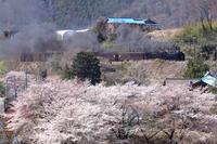 2019上越桜D51498-30th - 蒸気屋が贈る日々の写真-exciteVer