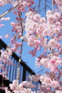 常陸風土記の丘の桜 - 燕雀の夢