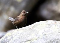 雛たち...カワガラス - 野鳥...四季折々