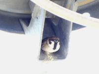 謎だった電柱のスズメの巣を発見!・・・浅川(日野) - 浅川野鳥散歩