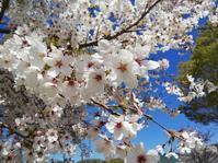まだまだ桜散歩 - 空を見上げて