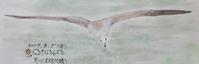 #野鳥スケッチ #ネイチャー・ジャーナル 『海猫』Larus crassirostris - スケッチ感察ノート (Nature journal)