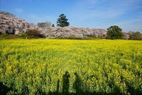 朝の権現堂公園2019-04-19更新 - 夕陽に魅せられて・・・