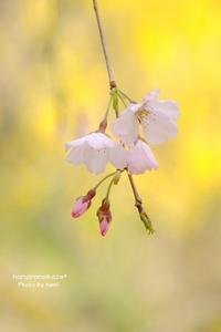 桜色の山 - haruironokaze*