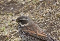 今日の鳥さん190402 - 万願寺通信
