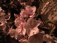 夜桜 - 雨 ときどき 晴れ