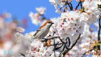 いつものように、♂と♀桜の花を回したり、蜜を吸ったりの一日でした。( ´艸`)誠 - 皇 昇