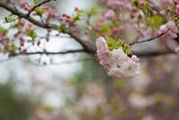 八重桜 満開 - 彩りの軌跡