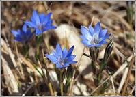 春の湿原ハルリンドウ・・・他 - 野鳥の素顔 <野鳥と日々の出来事>